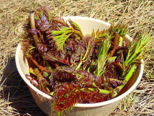 山菜 タラノメ