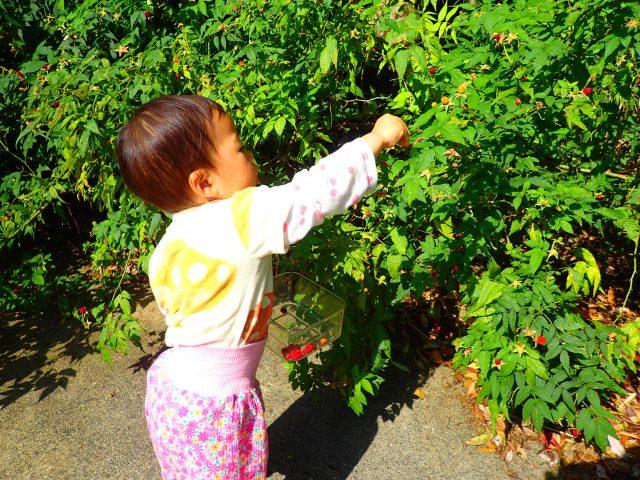 野いちご 桑の実 リュウキュウイチゴ オオバライチゴ