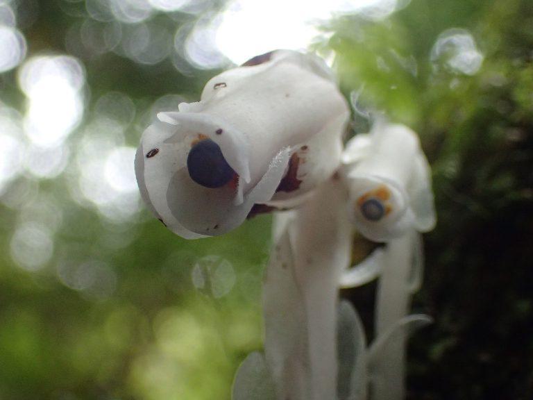 今、屋久島の森の中では「ギンリョウソウ」が!