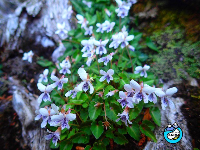 白谷雲水峡(もののけ姫の森&太鼓岩)ルートでも咲く花
