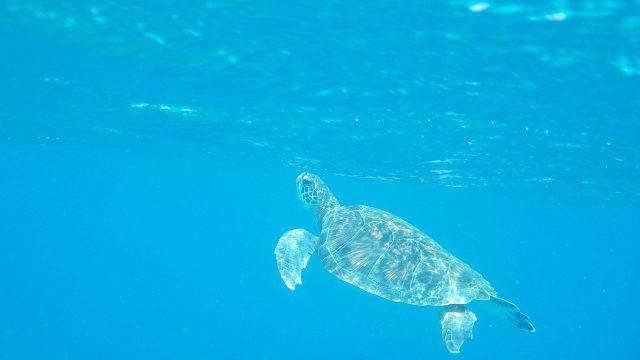 シュノーケリング ウミガメ アオウミガメ
