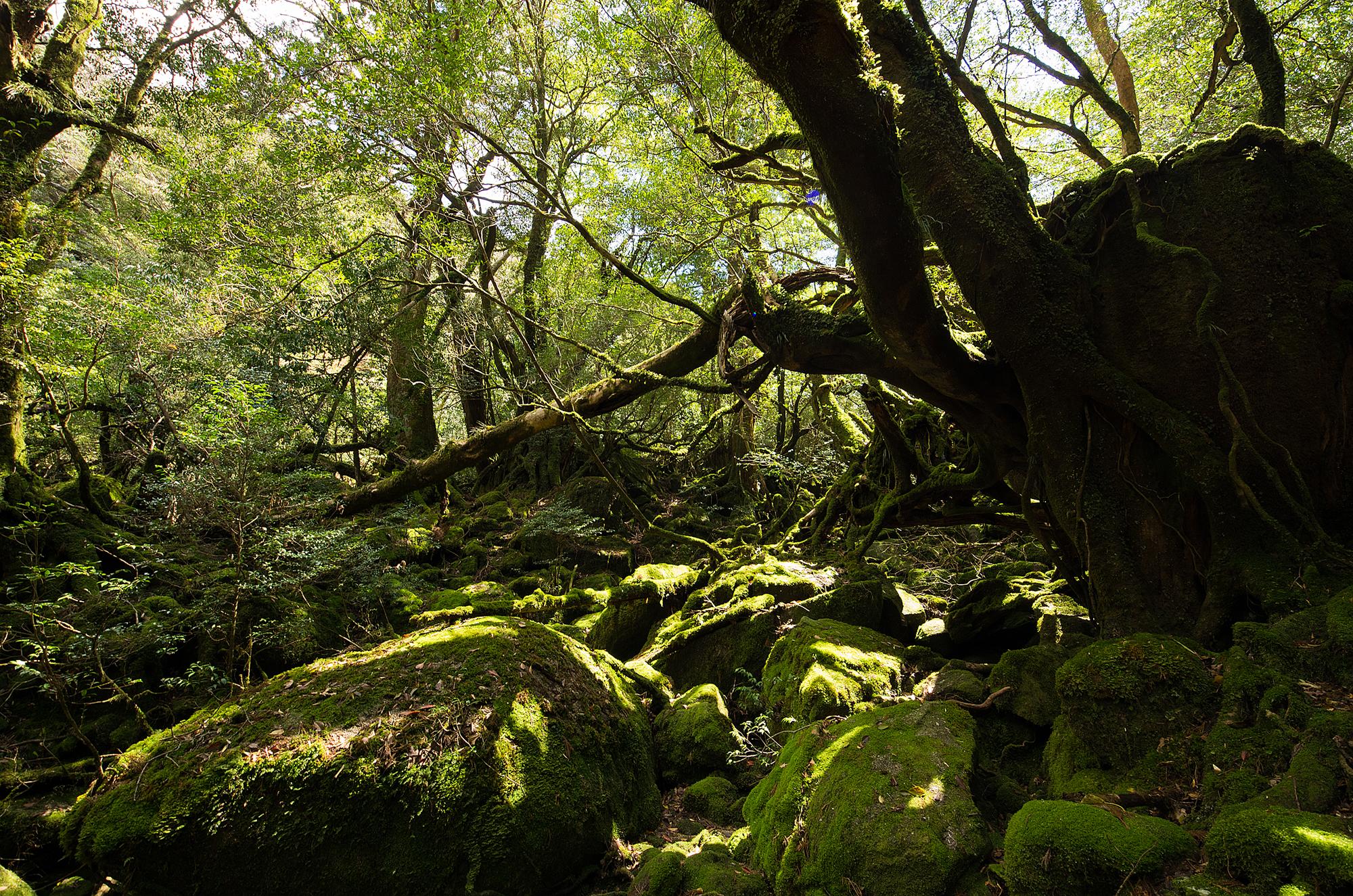太鼓岩 白谷雲水峡 苔むす森