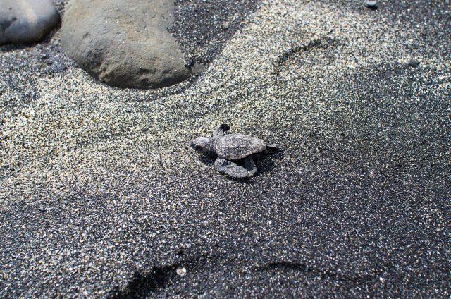 ウミガメ 孵化