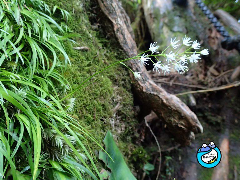 屋久島モッチョム岳で「ヤクシマチャボゼキショウ」開花