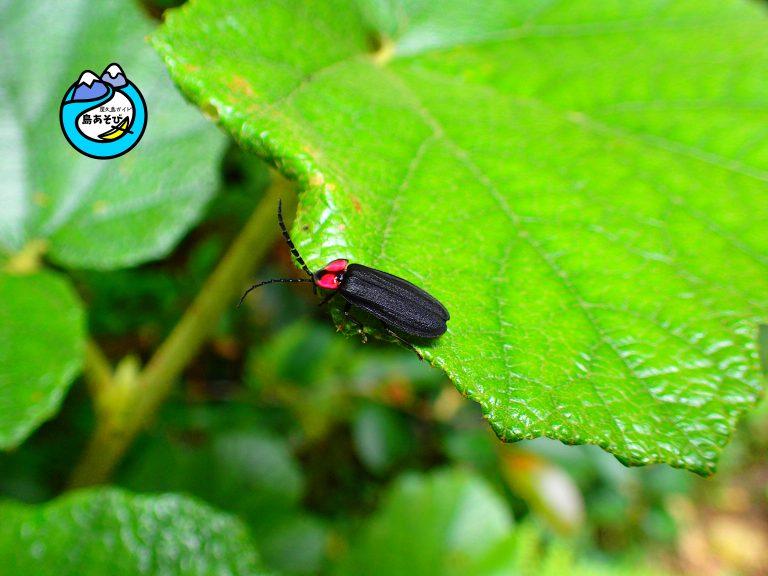 屋久島の昆虫